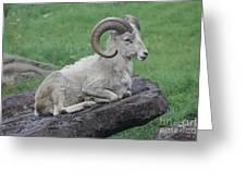 Dall's Sheep Greeting Card