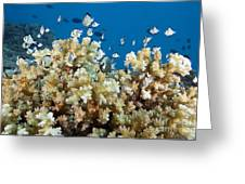 Damselfish Among Coral Greeting Card by Dave Fleetham - Printscapes
