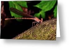 Damselfly 006 Greeting Card