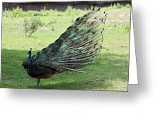 Dancing  Peacock Greeting Card