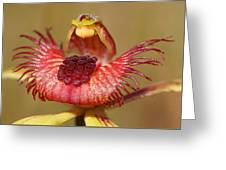 Dancing Spider Orchid Greeting Card