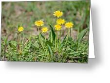 Dandelion Flowers Greeting Card