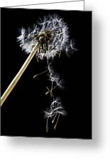 Dandelion Loosing Seeds Greeting Card