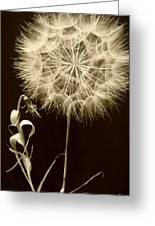 Dandelion Twenty Eight Greeting Card