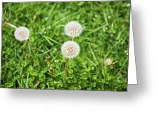 Dandelions In Connecticut Greeting Card