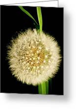 Dandelion's Seed Head. Greeting Card