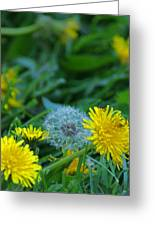 Dandelions, Young And Old Greeting Card