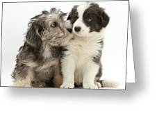 Dandy Dinmont Terrier And Border Collie Greeting Card