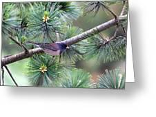 Dark-eyed Junco On A Pine Tree Greeting Card