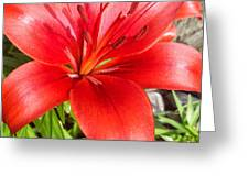 Dark Orange Red Lily Greeting Card