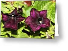 Dark Purple Petunia Greeting Card