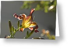 Dark Red Day Lily With Sun Shining Through I Greeting Card