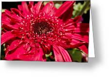 Dark Red Gerbera Daisy Greeting Card