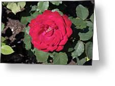 Dark Red Rose Greeting Card