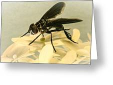Dark Winged Comb Footed Fly Greeting Card