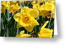 Darling Spring Daffodils Greeting Card