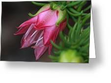 Darwinia Oxylepis 3a Greeting Card