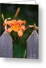 Day Lilly Fenced In Greeting Card