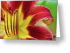 Day Lily Macro Greeting Card