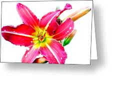 Day Lily No 2 Greeting Card