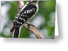 Daydreaming Downy Woodpecker Greeting Card