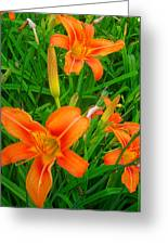 Daylily Greeting Greeting Card by Guy Ricketts