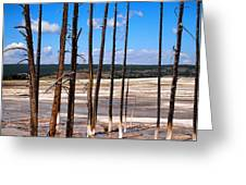 Dead Trees Standing In Hot Springs Within Yellowstone National P Greeting Card