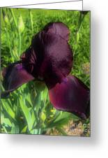 Deep Burgundy Iris Greeting Card