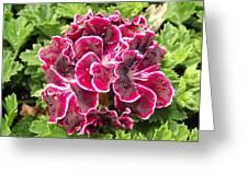 Deep Purple Geranium Greeting Card