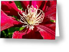 Deep Red Clematis Greeting Card