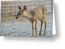 Deer Fawn - 2 Greeting Card