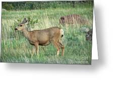 Deer In Boulder Colorado Greeting Card