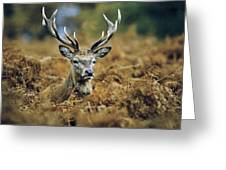 Deer Rests In Bracken Greeting Card