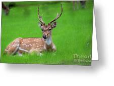 Deer Ruminating Greeting Card