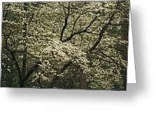 Delicate White Dogwood Blossoms Cover Greeting Card