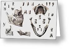 Dental Anatomy Greeting Card