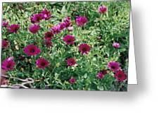 Desert Daisies Greeting Card