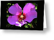 Desert Hibiscus With Honey Bee Greeting Card