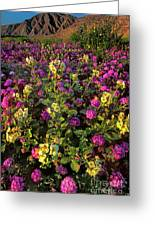 Desert Sand Verbena And Brown-eyed Primrose Below The Coyote Mountains California Greeting Card