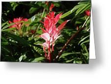 Devils Blush - Australian Native In Blue Mountains Greeting Card