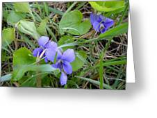 Dew Covered Wild Violets Greeting Card