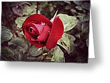 Dew Drop Rose Greeting Card