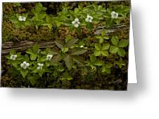 Dew Dropped Spring Bunchberries Greeting Card
