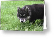 Dew Drops On The Nose Of An Alusky Puppy Dog Greeting Card