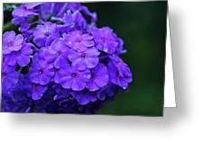 Dew Kissed Summer Phlox Greeting Card