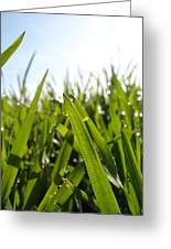 Dewdrops On New Wheat Greeting Card