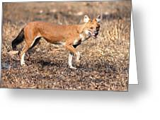Dhole In The Wild Greeting Card