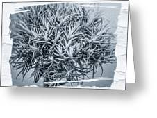 Dianthus Barbatus Bw Greeting Card