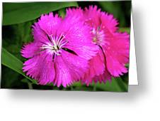 Dianthus First Love Flower Print Greeting Card
