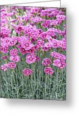Dianthus Gold Dust Flowers Greeting Card